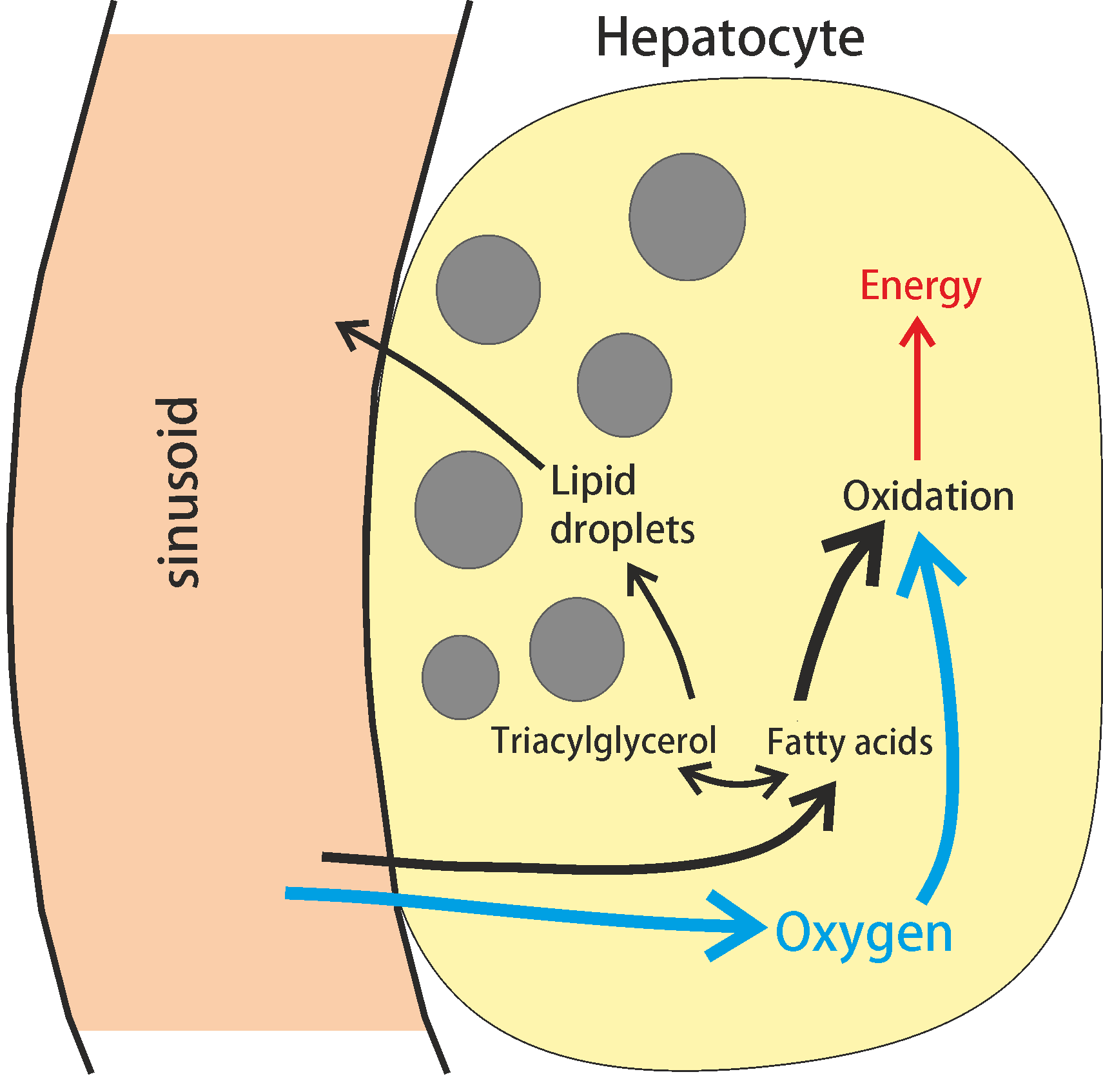 lipid regulation